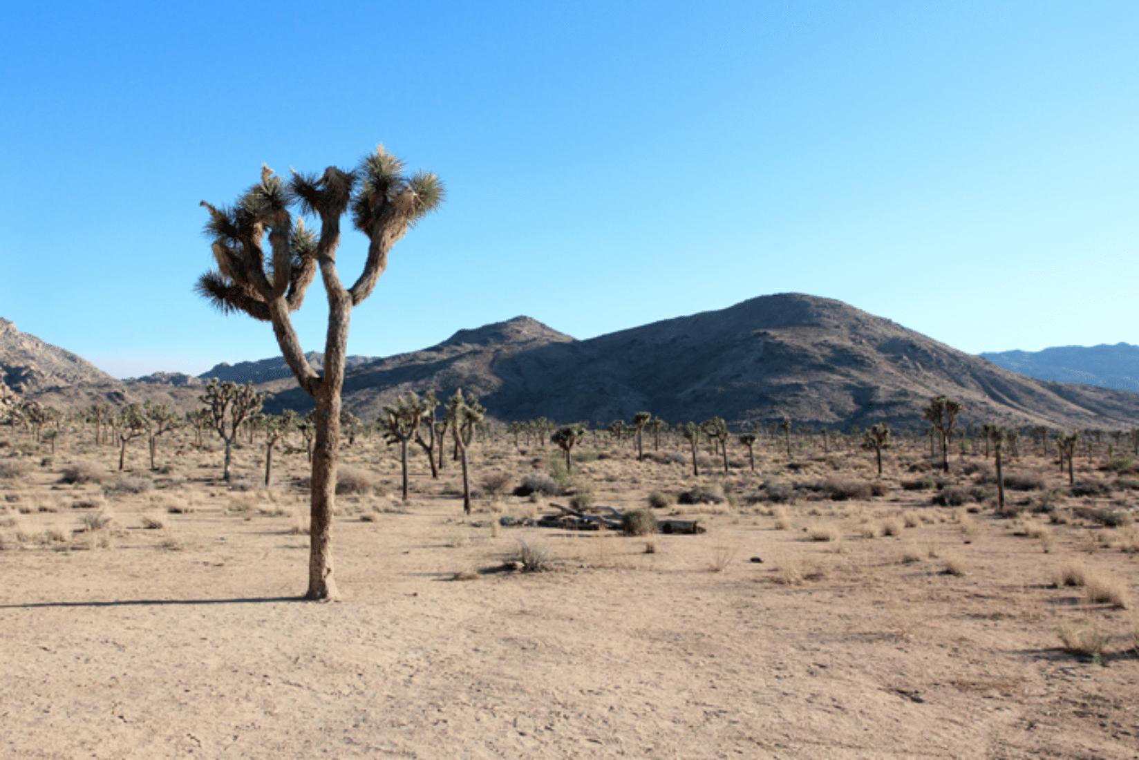Joshua Tree Wüste