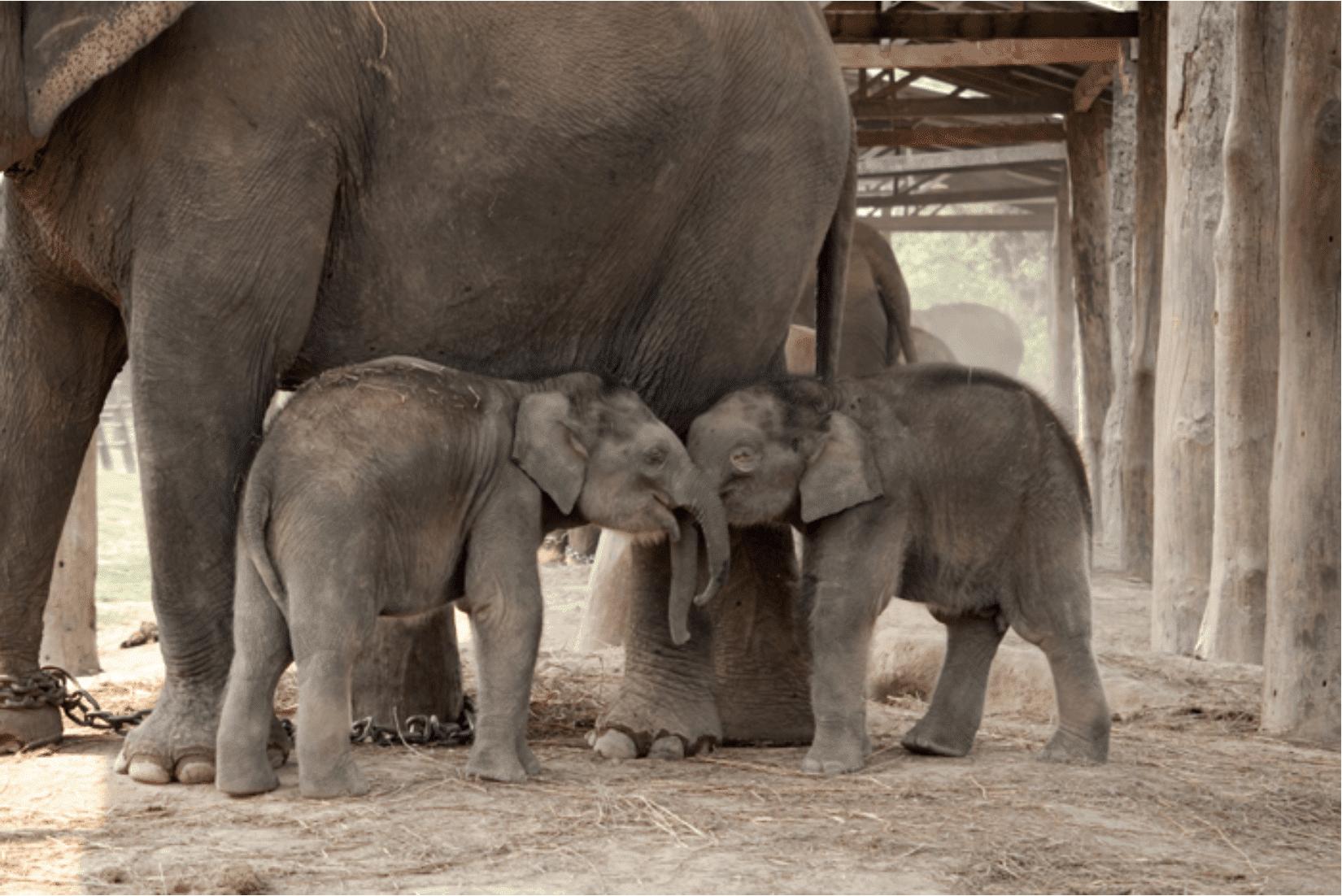 Chitwan Elefanten