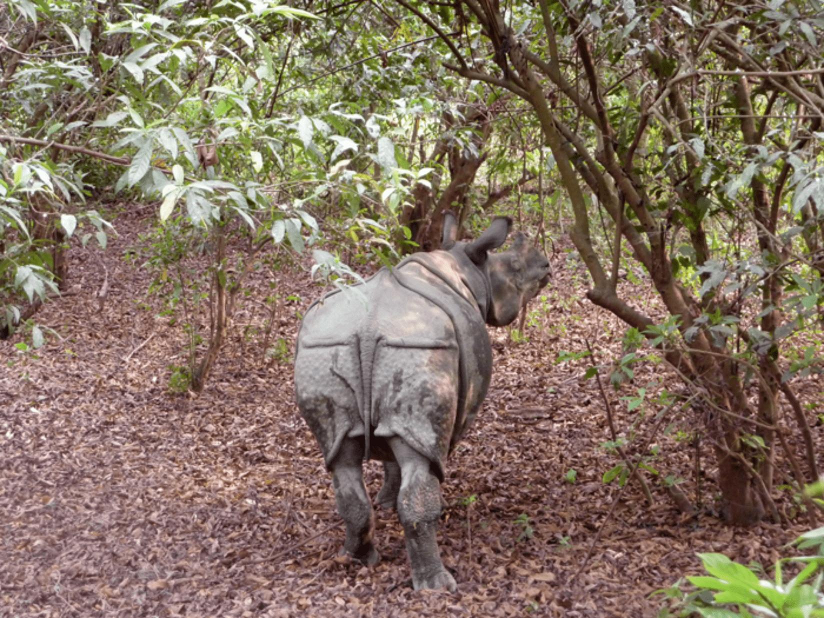 Chitwan Nashörner
