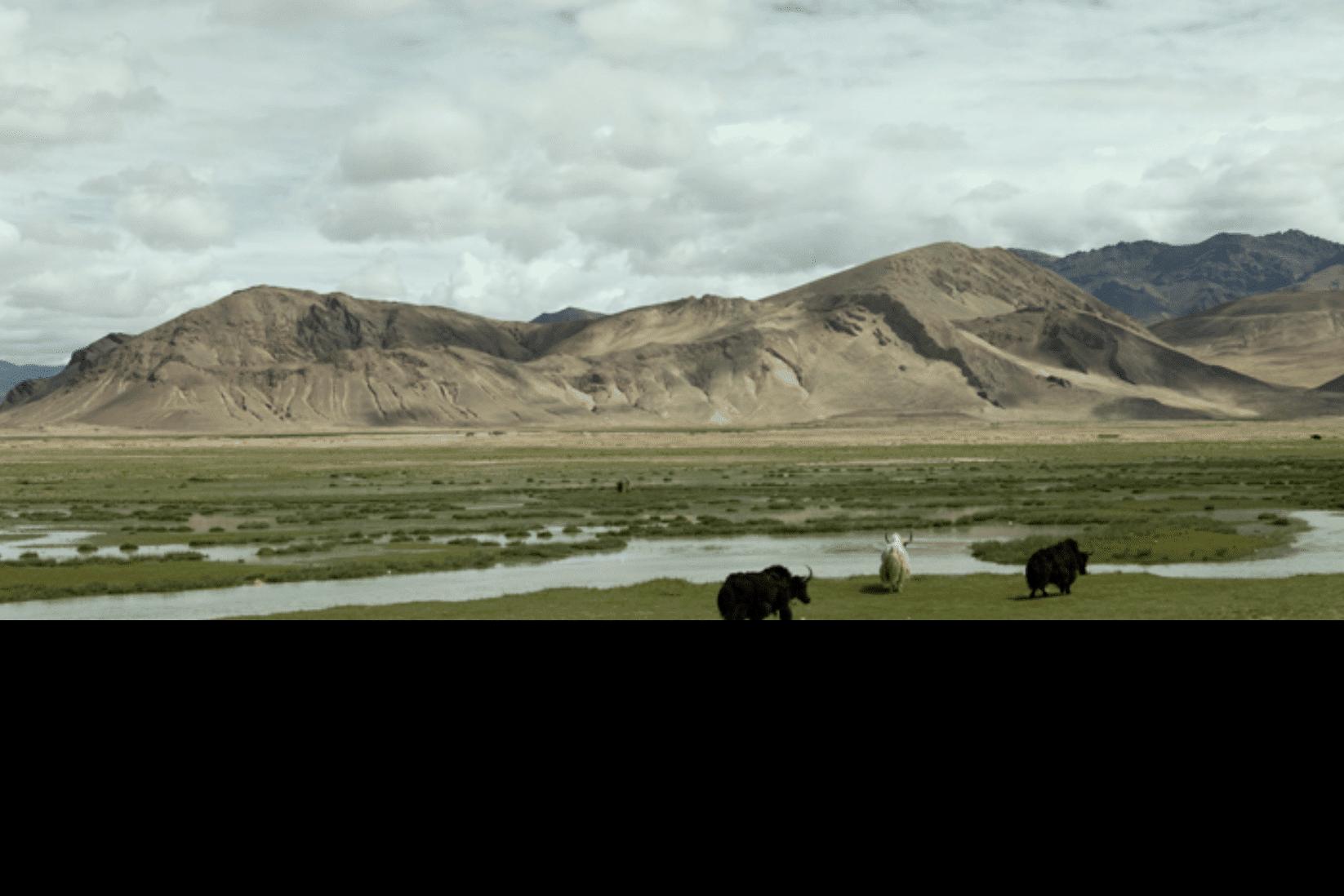 Tibet Yaks Land