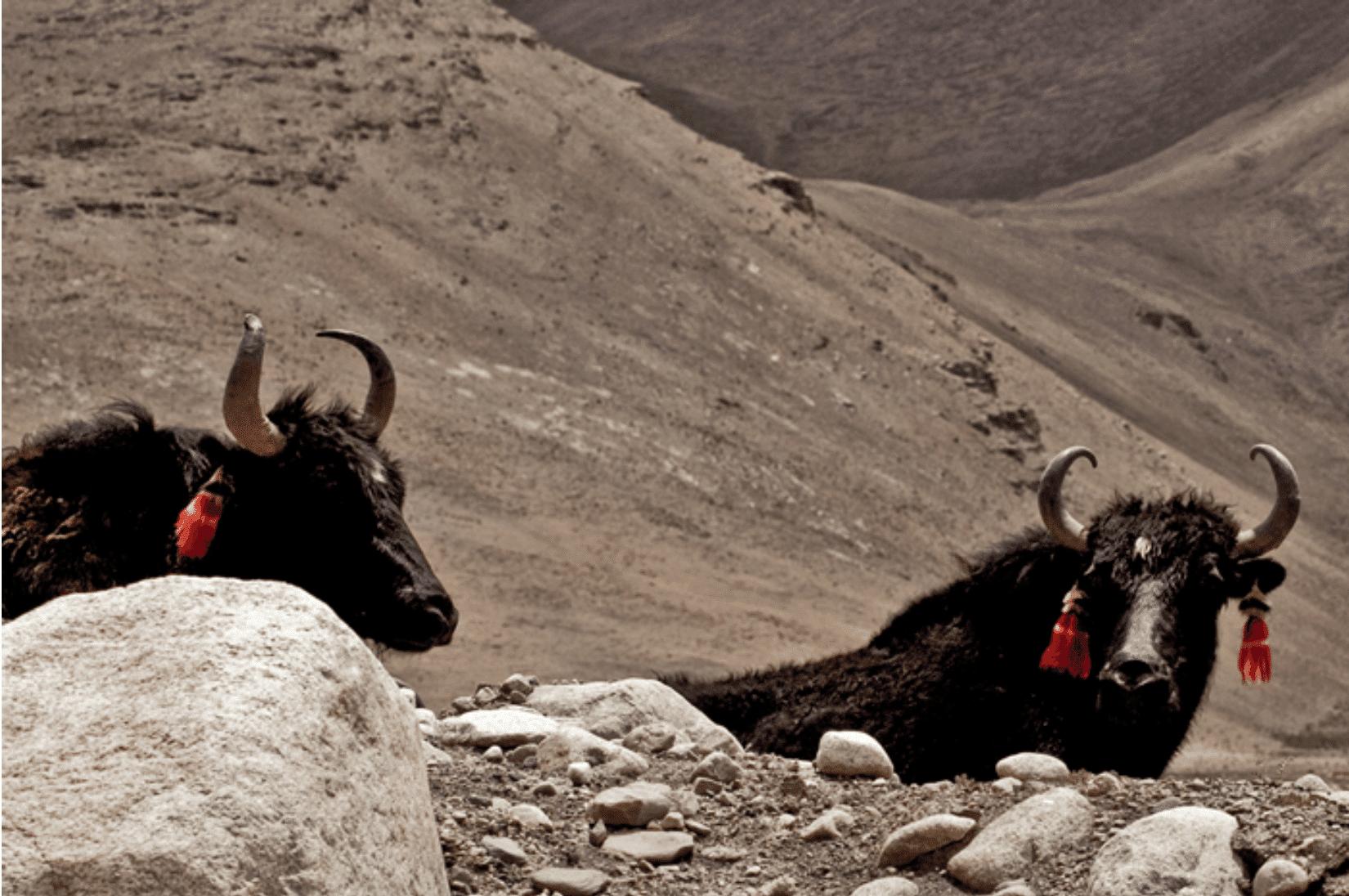 Tibet Yaks