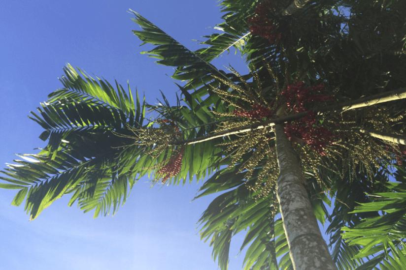 Südsee Samoa Palmen