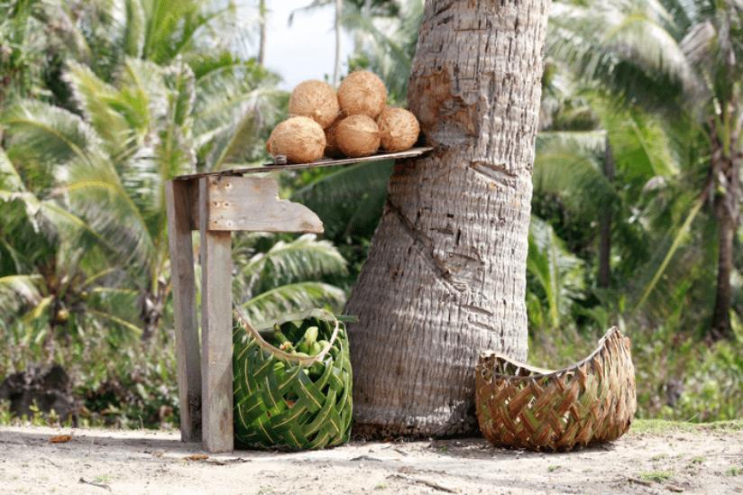 Samoa Kokosnüsse