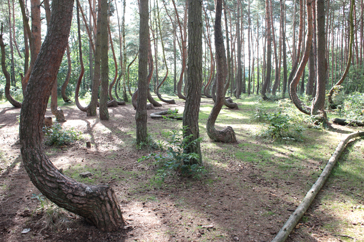 Krummer Wald Pommern Polen