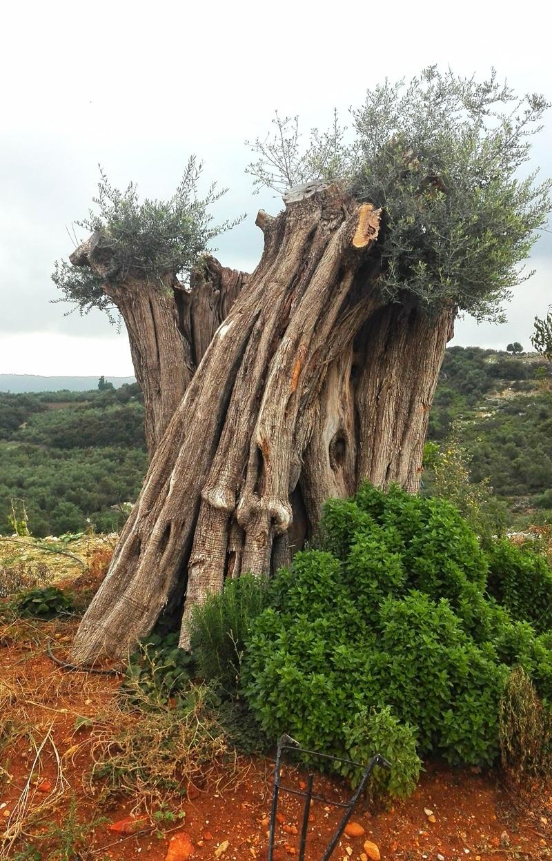 Tausend Jahre alter Olivenbaum - Kreta Griechenland - Reiseblog Bravebird