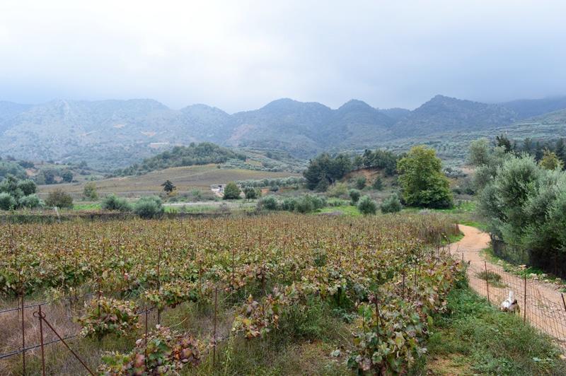 Weingebiet auf Kreta - Griechenland - Reiseblog Bravebird