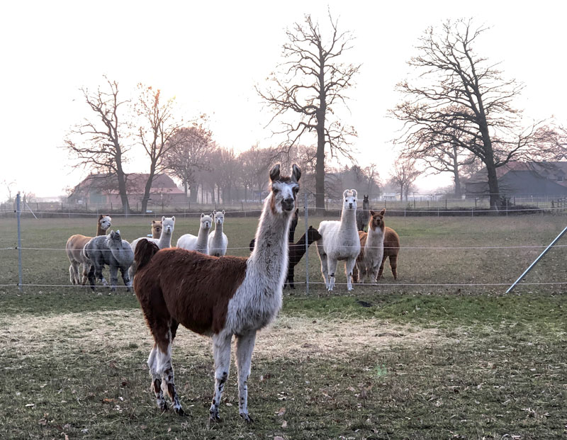 Lama Alpaka Hof Niedersachsen - Reiseblog Bravebird