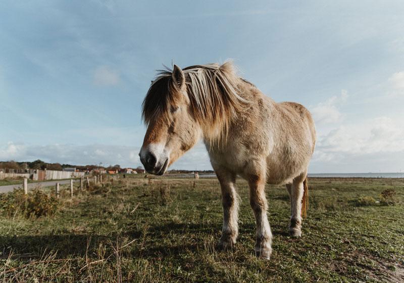 Ponys auf der Insel Vlieland - Reiseblog Bravebird