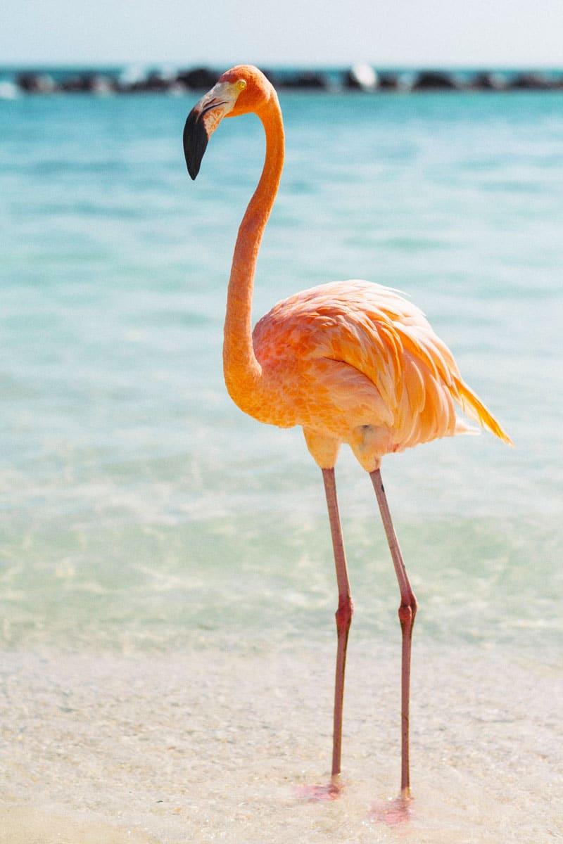 Flamingos auf Aruba Tierquälerei - Reiseblog Bravebird