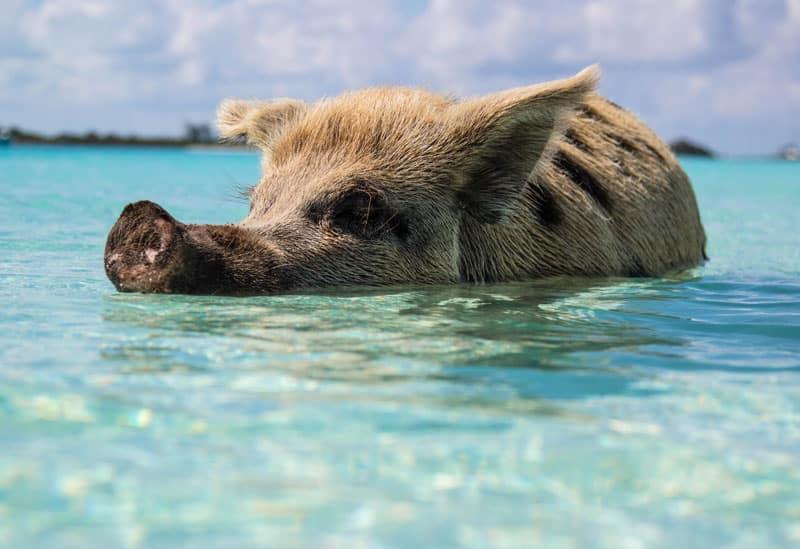 Schweine auf den Bahamas - Reiseblog Bravebird