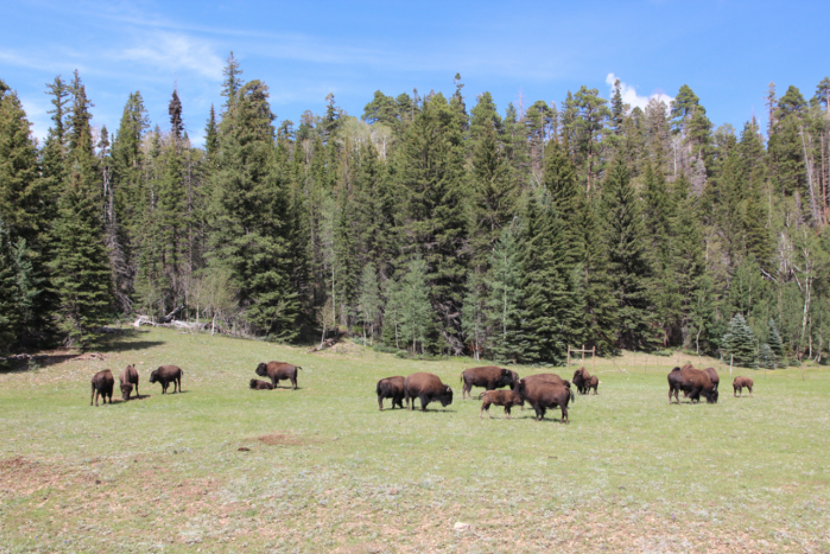 Bisons North Rim Grand Canyon