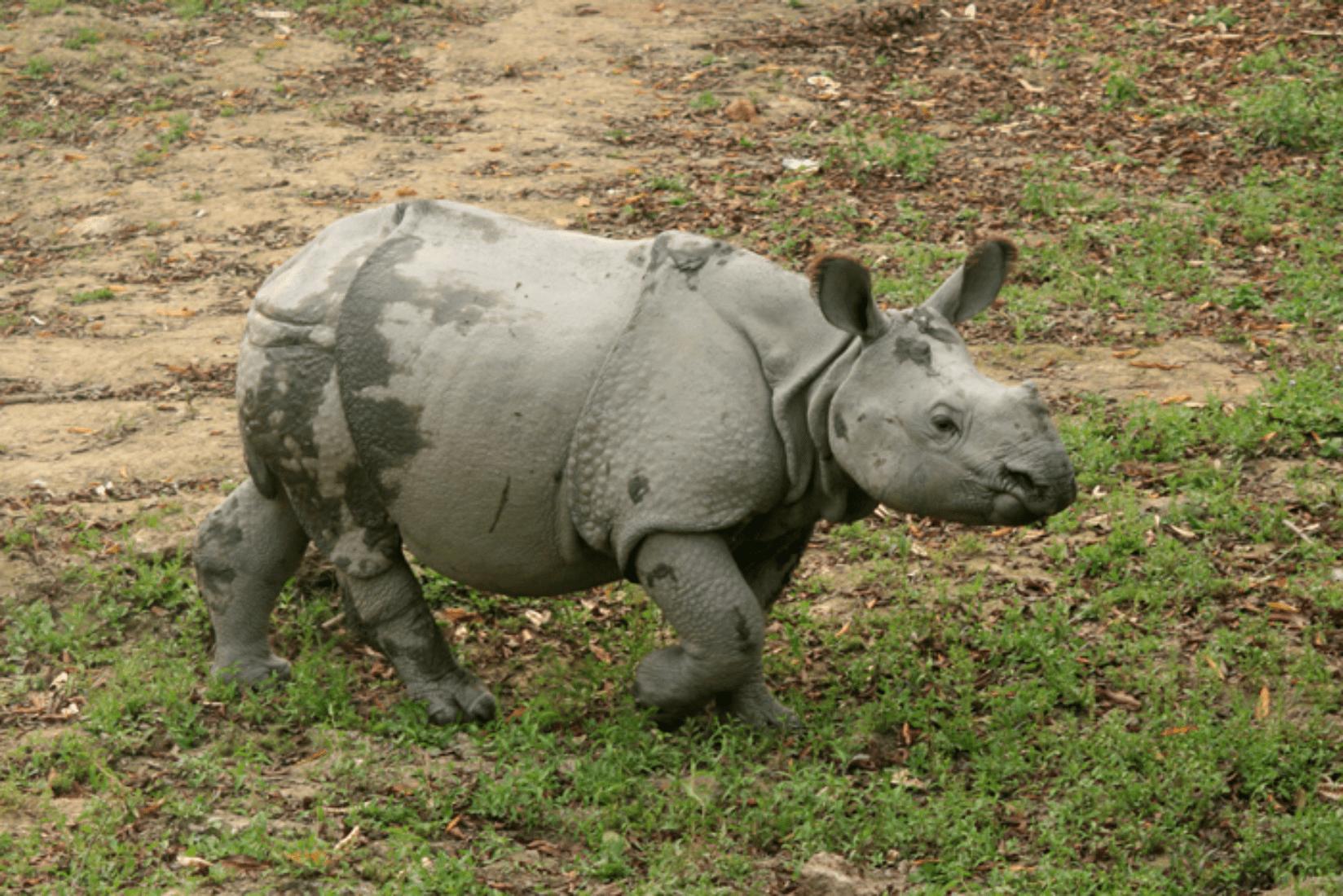 Chitwan Nashorn