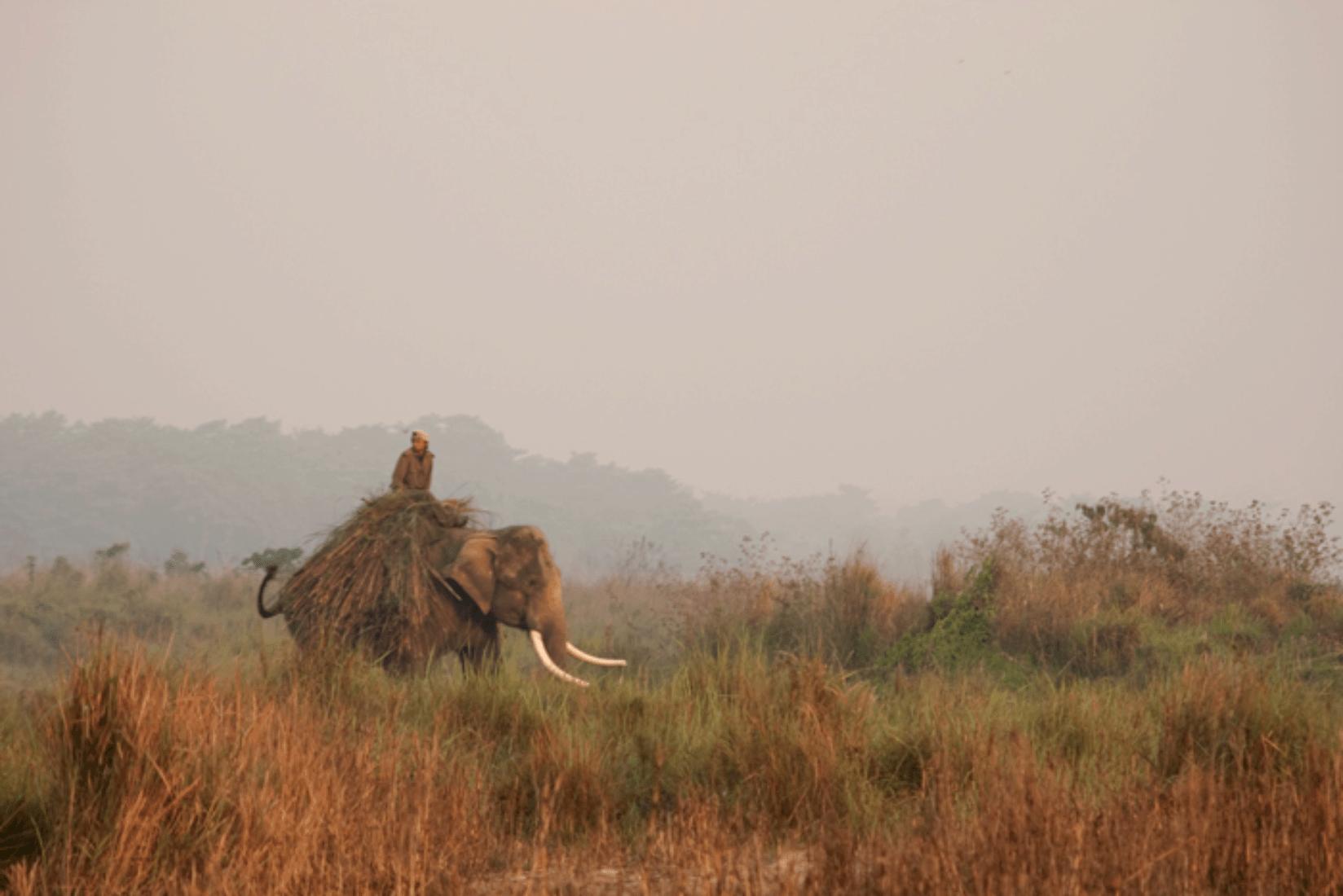 Chitwan Arbeitselefanten