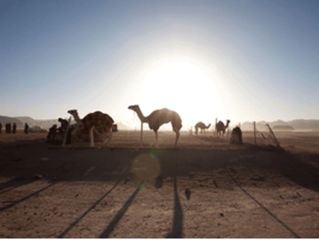 Jordanien Kamele Bericht
