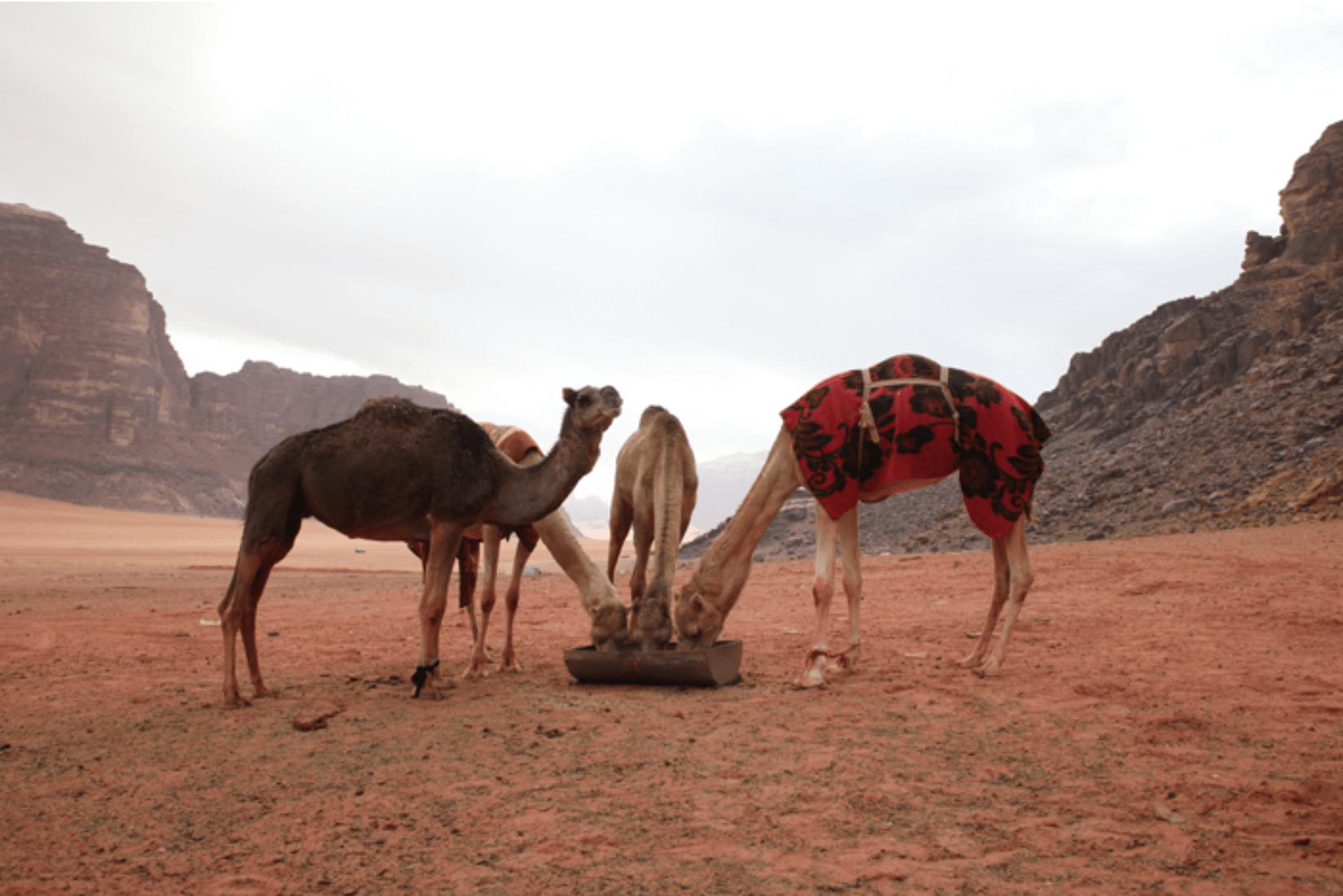 Wadi Rum Kamele