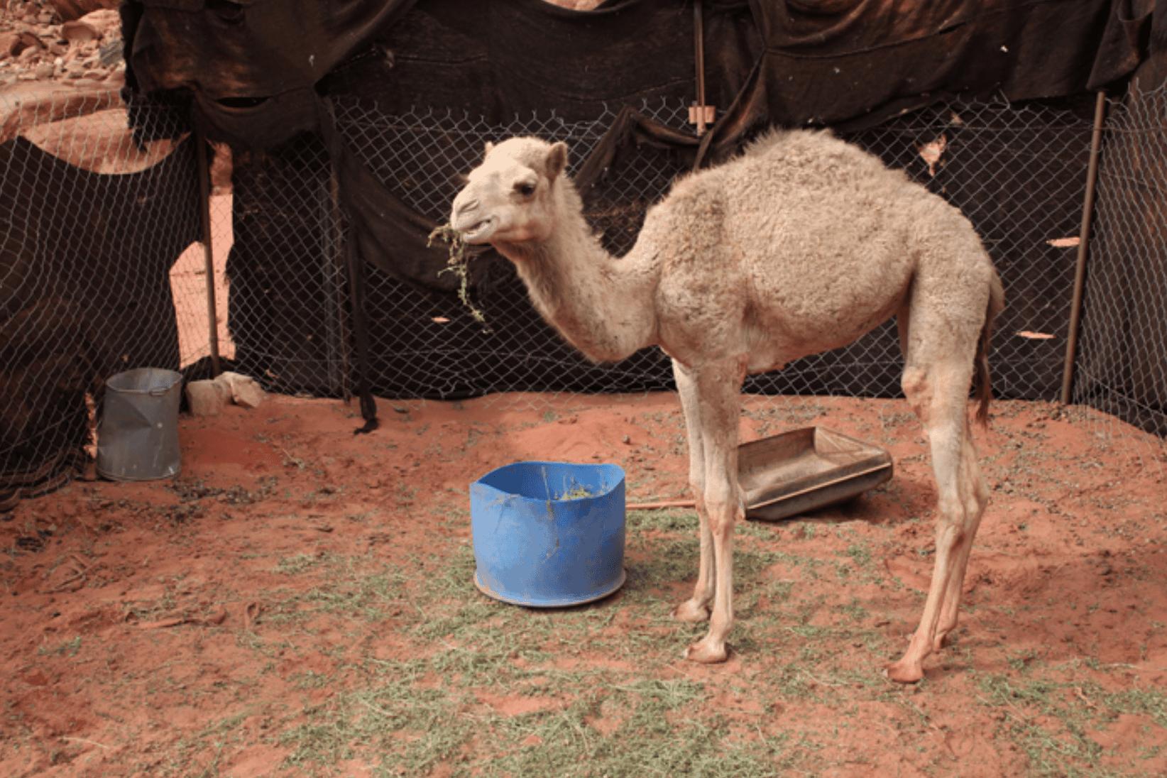 Wadi Rum Kamel Baby