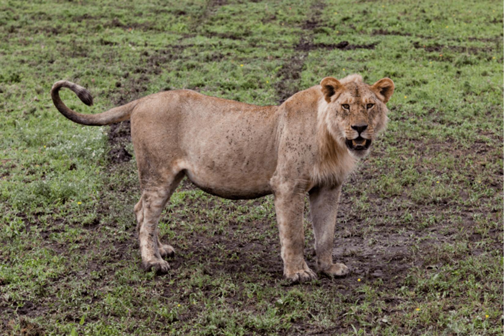 Löwe Seregenti Reise
