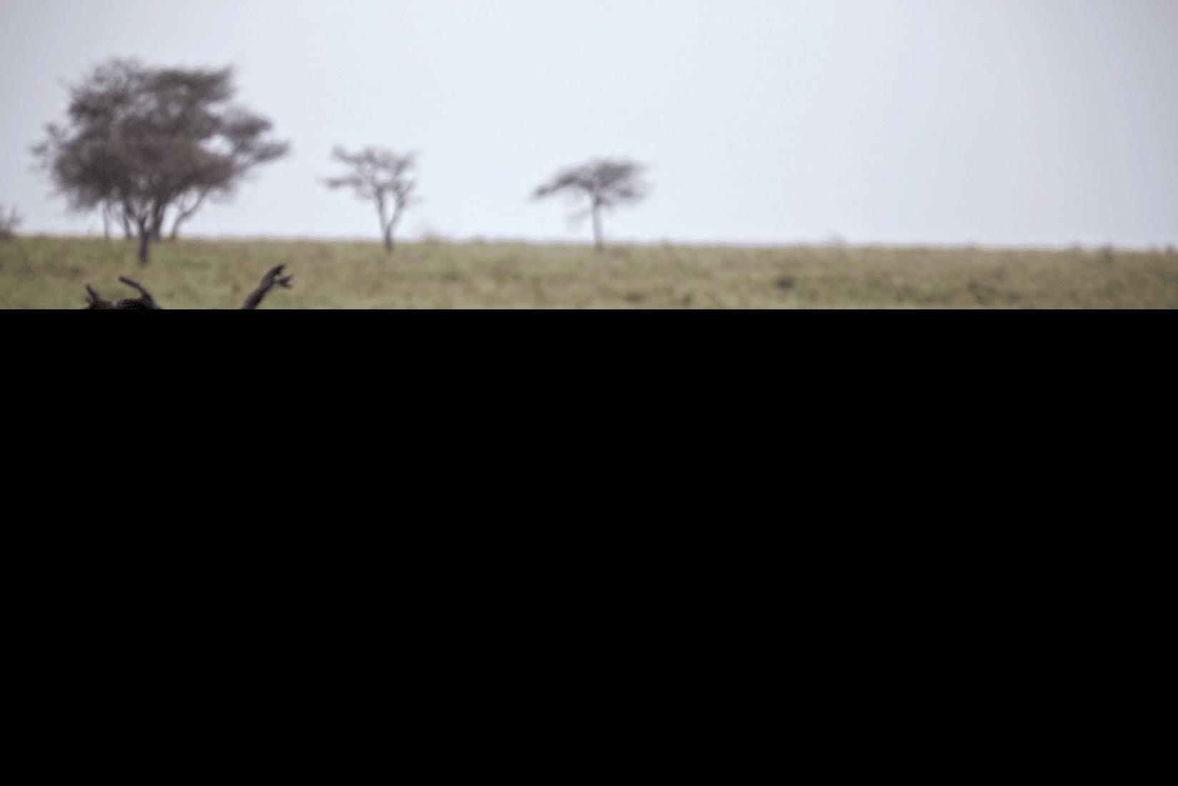 Ngorongoro Flusspferd