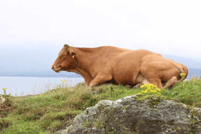 Irland Kuh
